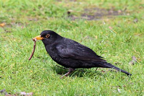File:Common Blackbird (turdus merula).jpg - Wikimedia Commons