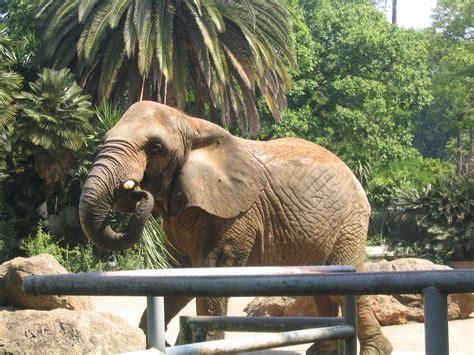 File:Elephant at Barcelona Zoo   2006.JPG