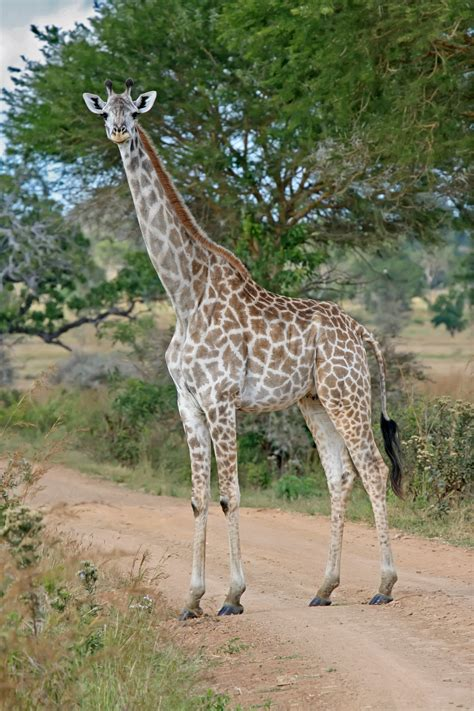 File:Female Giraffe Mikumi National Park.jpg   Wikimedia ...