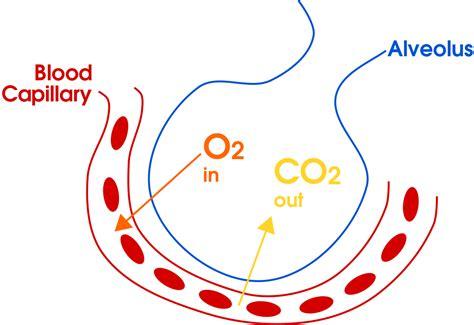 File:Gas exchange in the aveolus simple  en .svg ...