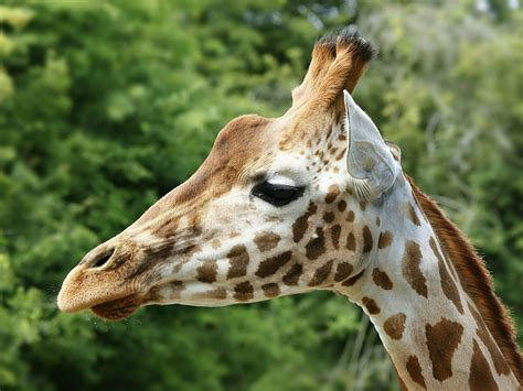 File:Giraffa camelopardalis rothschildi  head .jpg ...