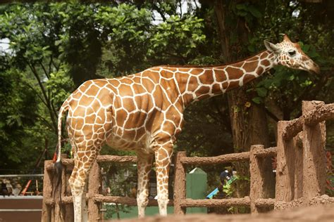 File:Giraffe 9.jpg   Wikimedia Commons