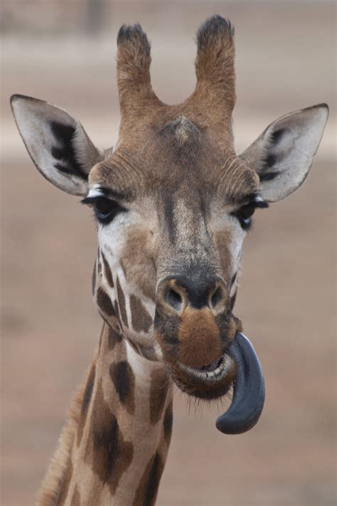 File:Giraffe sticking out tongue.jpg   Wikimedia Commons