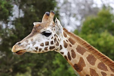 File:Giraffe08 - melbourne zoo edit.jpg - Wikipedia