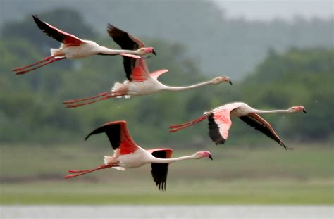File:Greater Flamingoes  Phoenicopterus roseus  after ...
