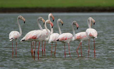File:Greater Flamingoes  Phoenicopterus roseus  W2 IMG ...