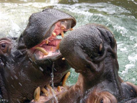 File:Hippopotamus @ Barcelona zoo.jpg   Wikimedia Commons