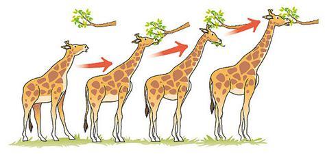 File:Jirafas teoria de evolucion.jpg - Wikimedia Commons