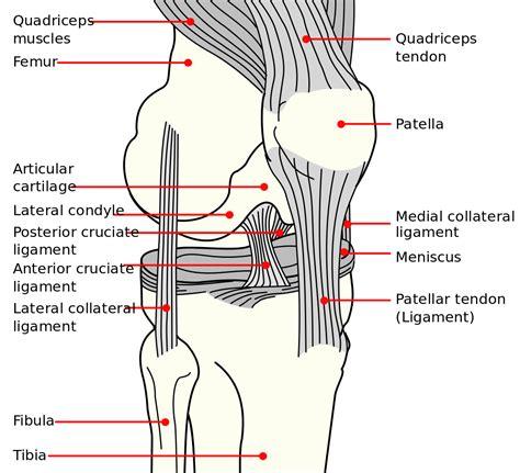 File:Knee diagram.svg   Wikipedia