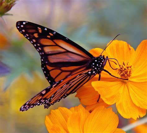File:Monarch Butterfly (6235522618).jpg - Wikimedia Commons
