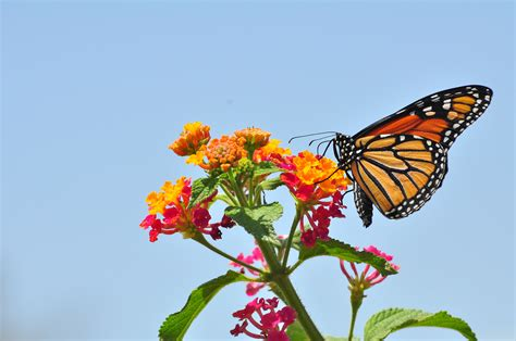 File:Monarch Butterfly - Danaus plexippus (5890526585).jpg ...
