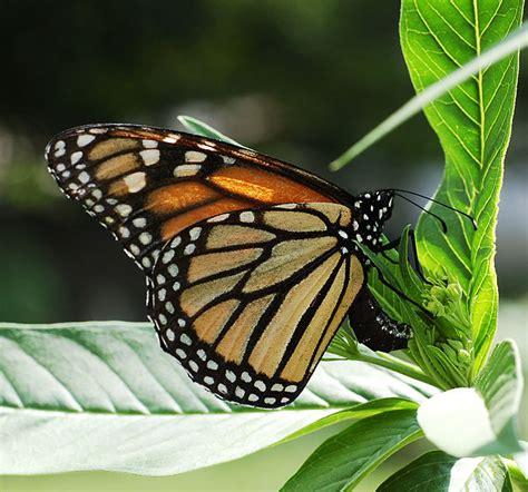 File:Monarch Butterfly Danaus plexippus Laying Eggs.jpg ...