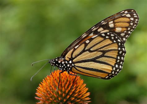 File:Monarch Butterfly Danaus plexippus on Echinacea ...