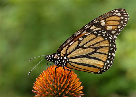 File:Monarch Butterfly Danaus plexippus on Echinacea ...