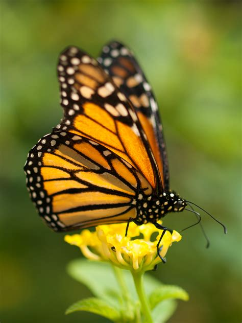 File:Monarch butterfly in Grand Canary.jpg - Wikimedia Commons