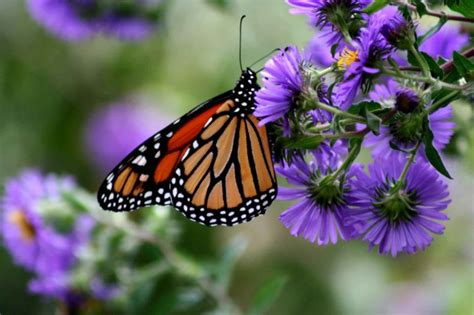 File:Monarch butterfly insect danaus plexippus on purple ...