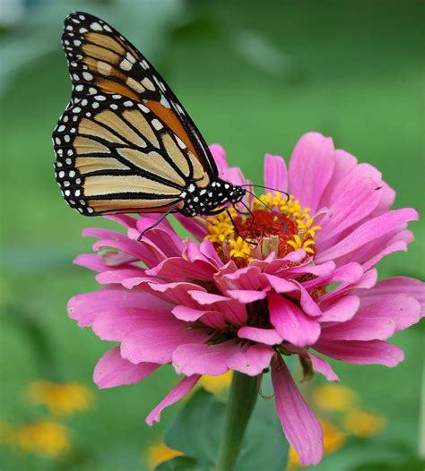 File:Monarch Butterfly Pink Zinnia 1800px.jpg - Wikipedia