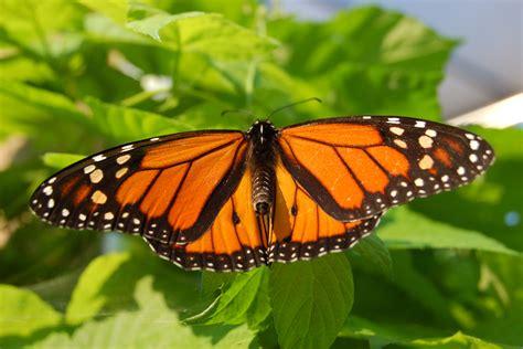 File:Monarch Butterfly Showy Male 3000px.jpg - Wikipedia