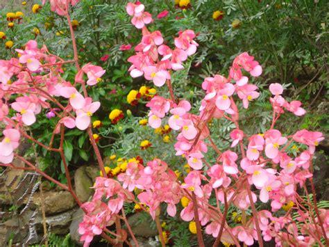 File:Plantas con flores rosadas.JPG