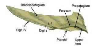 File:Pterosaur wing BW2.jpg - Wikimedia Commons