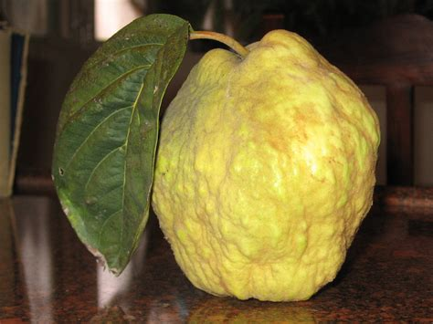 File:Quince-israel.jpg - Simple English Wikipedia, the ...
