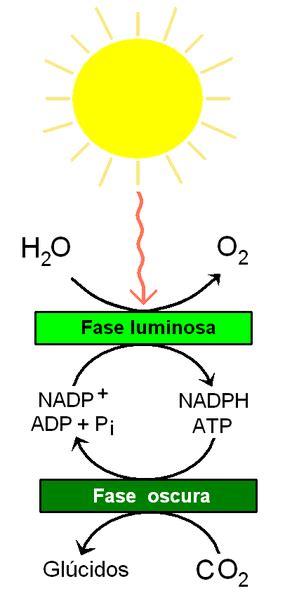 File:Reacciones de la fotosíntesis.PNG   Wikimedia Commons