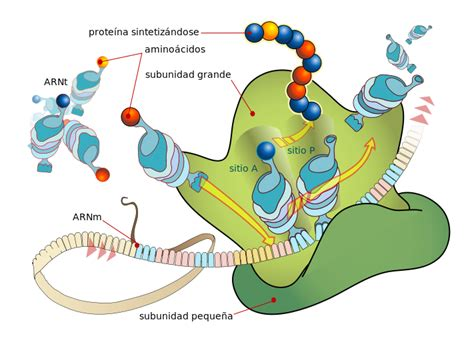 File:Ribosome mRNA translation es.svg   Wikimedia Commons