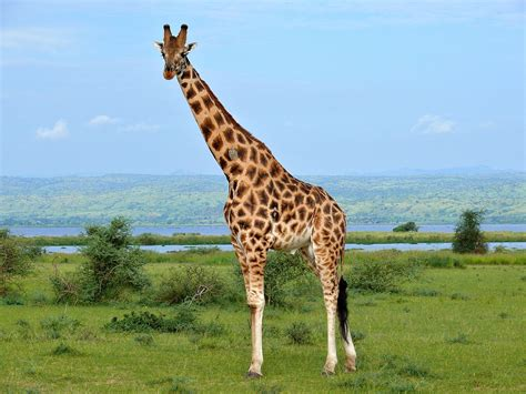 File:Rothschild's Giraffe (Giraffa camelopardalis ...
