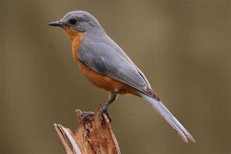 File:Silverbird in Murchison Falls National Park, Uganda ...