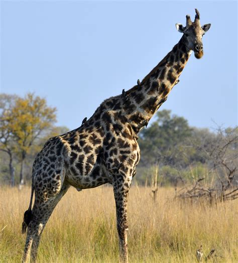 File:South African Giraffe, Bull.JPG   Wikimedia Commons
