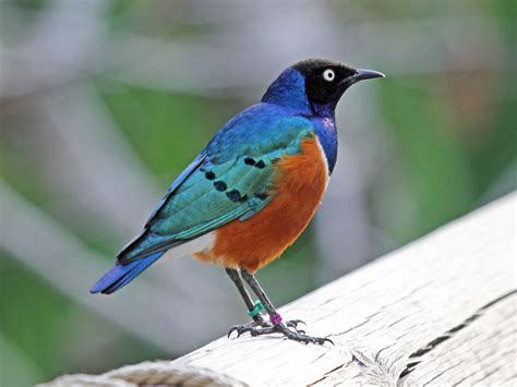File:Superb Starling RWD5.jpg - Wikimedia Commons