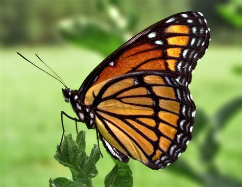 File:Viceroy Butterfly.jpg - Wikimedia Commons