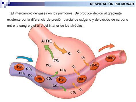 Fisiología animal La respiración. - ppt video online descargar