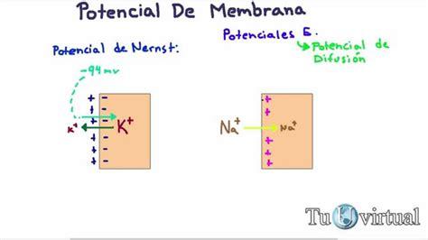 Fisiología   Potencial de difusión, potencial de membrana ...