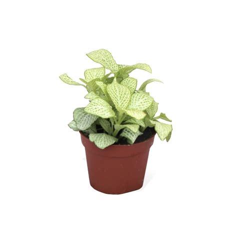 Fitonia - Planta de Interior Verdecora