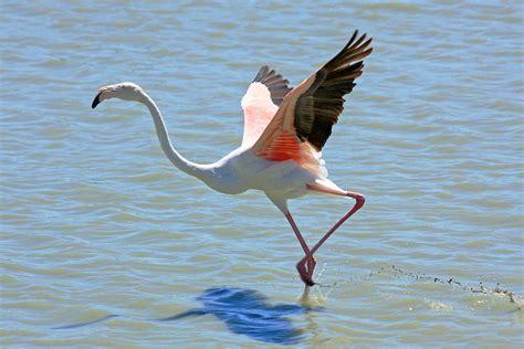 Flamant  oiseau    Vikidia, l'encyclopédie des 8 13 ans