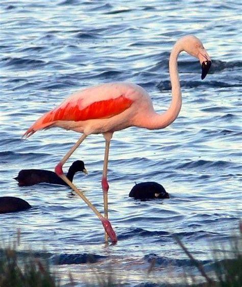 Flamenco animal - Imagui