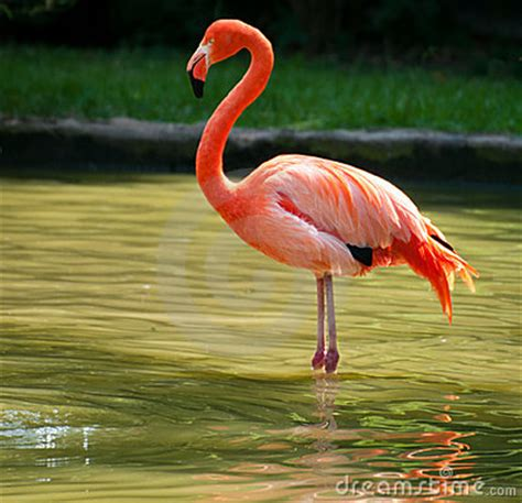Flamingo Standing On Two Foot Royalty Free Stock Photo ...