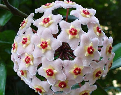 Flor de Cera   Hoya carnosa   Flores e Folhagens