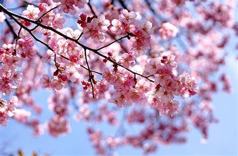 Flor de cerezo   Flor de Sakura | Blog de Flores   Colvin