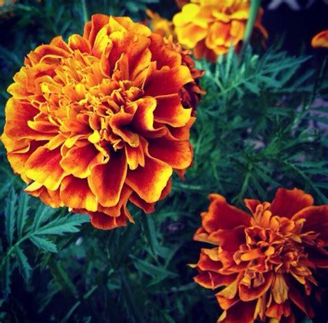 Flor de muerto  cempasúchil    Flores   Pinterest   Mexico ...