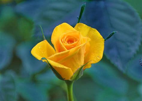 Flores de color amarillo ¡Significado, propiedades y ...