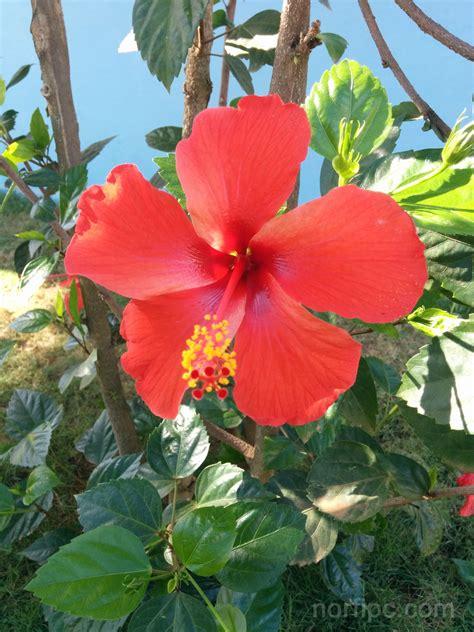 Flores del Hibiscus o Mar pacifico
