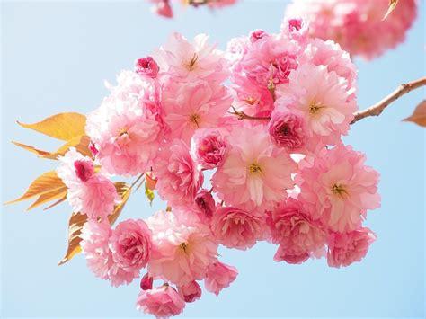 Flores hermosas del cerezo :: Imágenes y fotos