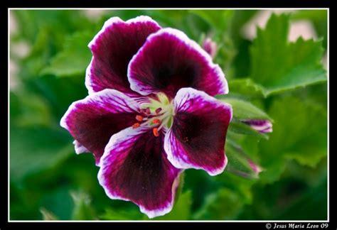 Flores   Jesus Maria Leon