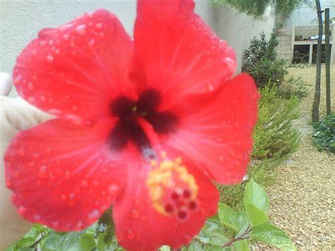 flores rojas   Cuidar de tus plantas es facilisimo.com
