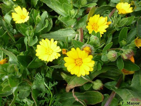 Flores y plantas silvestres:   Calendula arvensis ...