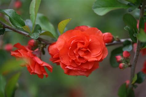 Flowering Quince | HGTV