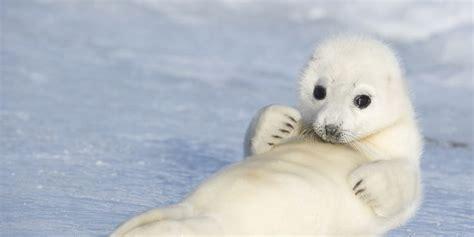 Foca da Groenlândia, Características, Hábitos e ...