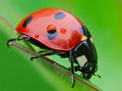 FONDITOS: Mariquita - Animales, Insectos, mascotas